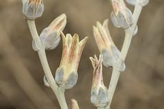 Dudleya abramsii subsp. murina, Serpentine Dudleya, San Luis Obispo Dudleya (marlin harms) Tags: dudleya sanluisobispodudleya dudleyaabramsiisubspmurina serpentinedudleya