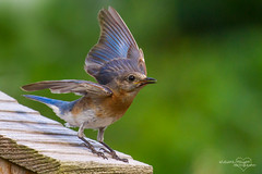 Calling Her Mate (Lallee) Tags: bird nature canon wings nest florida box bluebird eastern fluttering