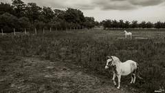 Ej kakve sam konje imo, konje bile, konje vrane....
