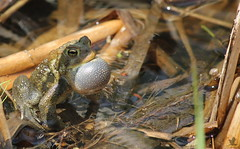 Eastern American Toad. (jonwedgephotography) Tags: canada nature fauna canon outdoors spring cool pond call wildlife amphibian toad mate pei croak americantoad