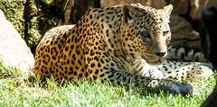 DNL-1343 (daniele savini) Tags: park parco leopardo leopard felino cornelle