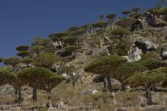 yem_1590 (Peter Hessel) Tags: yemen socotra soqotra jemen dragonbloodtree dracaenacinnabari diksamplateau fermhin