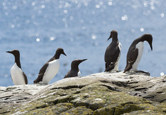 Guillemots (iancowell123) Tags: northumberland farnislands