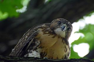 JHW Hawk Fledgling - 4346