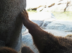 (Sailor.Doom) Tags: bear closeup fur zoo furry grizzly claws grizzlybear riverbankszoo riverbankszooandbotanicalgarden