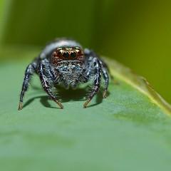The Jumping spider (Deb Jones1) Tags: macro green canon insect square spider flickawards debjones1