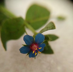 Scarlet pimpernel (menchuela) Tags: scarletpimpernel wildflowers blueflowers redflowers floressilvestres floresazules floresrojas britishflora anagallisarvensis pimpinelaescarlata anagallisarvensisssparvensis menchuela