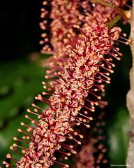 Hicksbeachia pinnatifolia - Red Boppel Nut (Black Diamond Images) Tags: hicksbeachia hicksbeachiapinnatifolia proteaceae redboppelnut arfp nswrfp qrfp subtropicalarf arfflowers maroonarfflowers rnrfgdb rnrfgdbarfp redfp australianrainforestflowers flowers australianrainforestflora