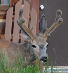 Ready for Santa? (afagen) Tags: animal nps wildlife deer wyoming nationalparkservice muledeer grandteton jacksonhole grandtetonnationalpark odocoileushemionus signalmountainlodge
