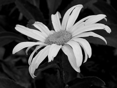 Daisy train (andrea.nelms) Tags: california county bw white black macro green nature leaves petals humboldt daisy pollen arcata