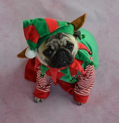 Santa's Little Elf (DaPuglet) Tags: pug puppy dog christmas elf holiday costume funny cute pets pugs dogs pet animal animals colourartaward coth5
