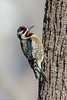 Yellow-bellied Sapsucker (tfells) Tags: yellowbellied sapsucker woodpecker bird nature pole farm nj new jersey mercer county