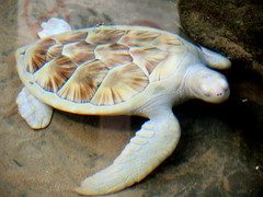 White sea turtle 白海龜 (MelindaChan ^..^) Tags: srilanka 斯里蘭卡 white seaturtle 白海龜 chanmelmel mel melinda melindachan