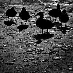 Ducks on the rocks (heinzkren) Tags: enten wildenten eis ice gegenlicht sw blackandwhite biancoetnero stadtpark wien vienna duck shadow schatten teich see sea eiswürfel backlight silhouette animals tiere vögel birds cold snow schnee winter parc natur outdoor park nature naturalworld bw panasonic icecubes wildlife reflection monochrom vogel tier noiretblanc bnw