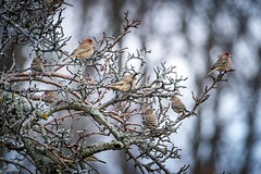 Fall Finches (59roadking - Jim Johnston) Tags: ifttt 500px finch bird birds wildlife animal animals wild tree forest trees