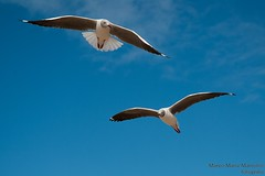 Two sea gulls in the sky, Southafrica (marcomariamarcolini) Tags: marcomariamarcolini nikon nikkor africa southafrica krueger park daylight wow nature wildlife innature nocages fly run walk safari digital colorful