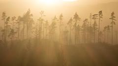 Sublimation (johnkaysleftleg) Tags: helvellyn swirls trees mist plantation sunset lakedistrict lakes golden rays canoneosm cumbria england