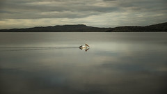 Tranquility (SteveKPhotography) Tags: sony stevekphotography alpha a99 slta99 tamron 2470mm scenery scenic water waterbird clouds reflection bird avian animal inlet morning outdoors nature broke westernaustralia australia walpole pelican pelecanusconspicillatus