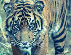 tiger jr (1 of 1) (rudydlc81) Tags: tiger dczoo bigcats