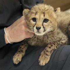 Loving Care (Penny Hyde) Tags: babyanimal bigcat cheetah cub keeper safaripark