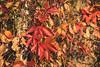 Parthenocissus quinquefolia, Virginia creeper (Janek Rivimets) Tags: parthenocissus quinquefolia virginia creeper ronitaim liaan viinapuu harilik metsviinapuu
