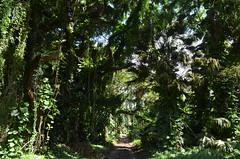 Moanalua Valley Trail (trailwalker52) Tags: moanalua moanaluatrail moanaluavalley moanaluavalleytrail hawaii oahu forest rainforest beautiful green trail hike