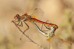 Fall in Love (Explored  03/02/2017) (jrosvic) Tags: dragonfly libélula sympetrumfonscolombii mating cartagena sigma180mmf35apomicro nikond90 kenkopro300x14 macro closeup freehand entomologia entomology libellulidae anisoptera anisoptero odonata odonato sigma nikon micro