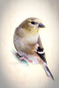 Yellow Finch (richardmacquade) Tags: bird finch digitalart digitalmanipulation yellow fauna