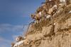 LIFE ON THE EDGE (Sandy Stewart) Tags: sheep bighornsheep rams bighornsheeprams yellowstone yellowstonenationalpark winter snow sunny sandystewartphotographer