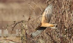 Northern Harrier (Eric_Z) Tags: northernharrier circuscyaneus delta bc canada birdinflight raptors