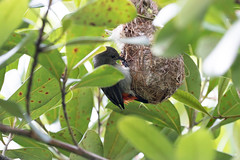20170105-7D2_2076 (shutterblades) Tags: birds canon100400lmkii canon7d2 mandaizoo nesting nests riversafari scarletbackedflowerpecker singaporezoo
