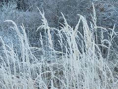 Manual Photos - Batch3-Jan1712 (greenby.nature) Tags: frozen frozenleaf rust rustedcars rustedengine moss frozenpuddles frostywalk sunthroughthetrees grass decayedsleepers
