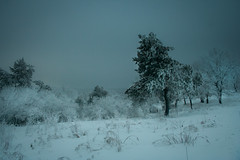 Pine (Oksana_Oeri) Tags: winter landscape snow trees evening january tale nature outdoors canonefs1855 canon