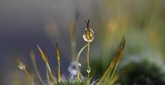 moss-art (bugman11) Tags: macro moss flora droplets droplet drop drops water nederland thenetherlands bokeh canon nature 100mm28lmacro winter 1001nights 1001nightsmagiccity thegalaxy platinumheartaward