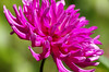 Summer Party (vbd) Tags: pentax k3 vbd smcpentaxda55300mmf458ed me maine flower newengland pink dahlia thuyagardens handheld manualfocus 2016 summer2016 northeastharbor asticou mountdesertisland