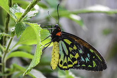 Birdwing Butterfly (C. P. Ewing) Tags: butterfly butterflies insect insects macro macros animal animals nature natural outdoor outdoors colorful colourful green red blue yellow aqua multicolored wildlife autoremovedfrom1to5faves