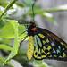 Birdwing+Butterfly