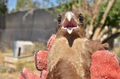 Chimanguito (Natacha Francisca G.) Tags: chimango tiuque chile rehabilitacion av ave rapaz rapaces raptor centro rehabilitation center birds conervación