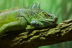 Old green man (radio4) Tags: greeniguana iguanaiguana lizard reptile tarongazoo sydney nsw australia