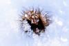 Fruchtbecher auf Eis (T.Hecht) Tags: buche eis kristall nordschwarzwald schnee schwarzwald winter fruchbecher makro macro crystal ice snow beech cupule