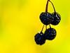 Black wildberries (vinnie saxon) Tags: black wild berry nature macro bokeh yellow autumn season nikoniste nikon d600