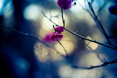 January (moaan) Tags: ume umeblossom apricot japaneseapricot blossom kobe hyogo japan jp blossoming bokeh dof utata 2017 january winter otus1455