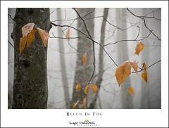 Beech In Fog (DKNC) Tags: blueridgeparkway northcarolina nc fog beech woods forest winter trees leaves daleking