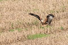 Red Kite Jan 2017 (jgsnow) Tags: bird raptor redkite ngc