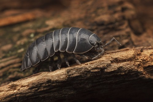Isopod (roly poly)