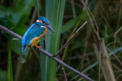R15_7355 (ronald groenendijk) Tags: holland tree nature netherlands birds europe wildlife vogels natuur kingfisher tak alcedoatthis ijsvogel martinpêcheur groenendijk ronaldgroenendijk cronaldgroenendijk