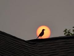 Bird Sun Silhouette_P1080951 (Wampa-One) Tags: sun bird robin silhouette missouri smokefromcanadianwildfires smokyatmoshphere