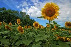 Happy Sunflower (Forsaken Fotos) Tags: sunflowersinpoolesville mdatmckeebesherswildlifemanagementarea