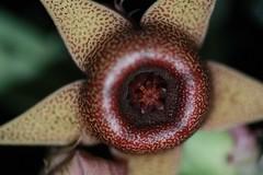 Huernia procumbens (seedmoney1) Tags: succulent asclepiad huerniaprocumbens