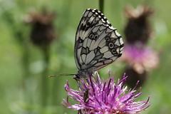 Marbled White - Melanargia galathea (Bjrn S...) Tags: butterfly papillon mariposa farfalla schmetterling schachbrett melanargiagalathea marbledwhite demideuil chiquier damenbrett mediolutonortea argegalathe